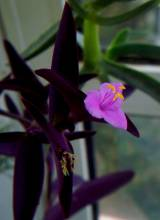 Tradescantia pallida 'Purple Heart'